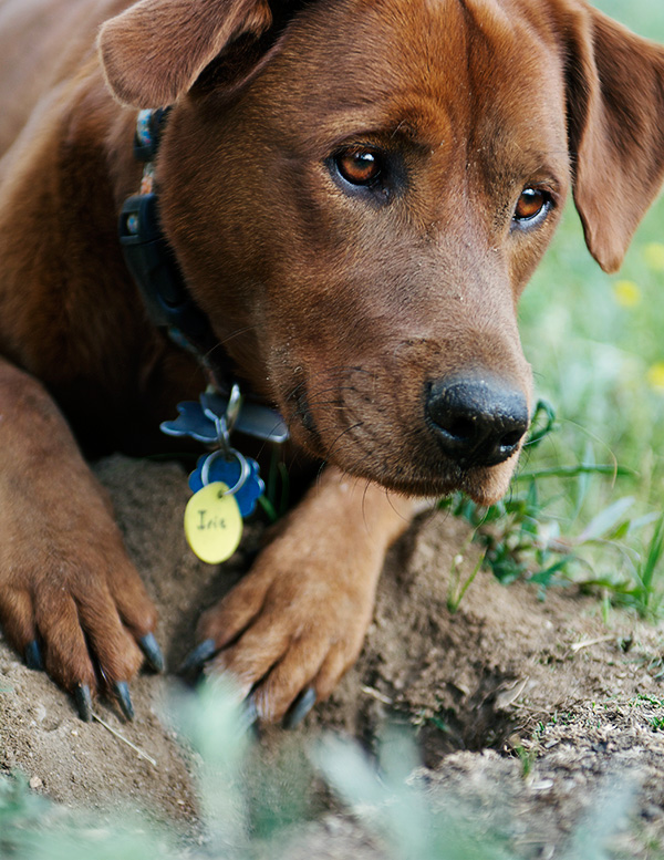 Pet Photography Dog Photo taken in Frisco Colorado